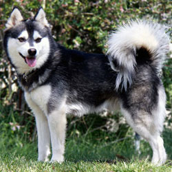 Alaskan Klee Kai