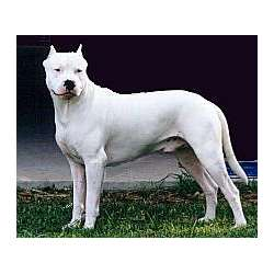 Argentine Dogo