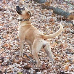 Black Mouth Cur Puppies & Breed Information