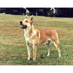 Carolina Dog