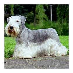 Cesky Terrier