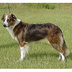 English Shepherd