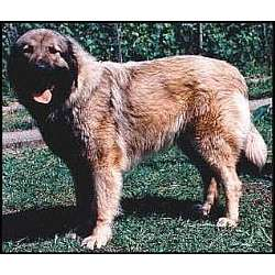 Illyrian Sheepdog