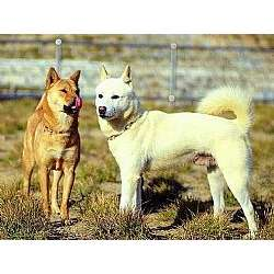 Jindo