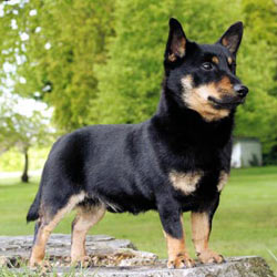 Lancashire Heeler