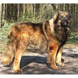 Leonberger Dog Puppies