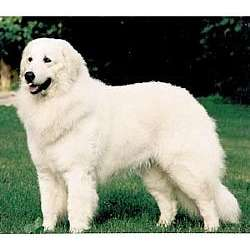 Maremma Sheepdog
