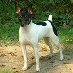 Rat Terrier