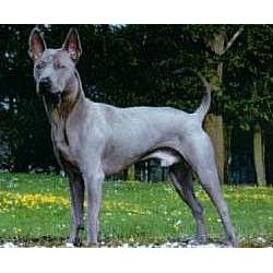 Thai Ridgeback