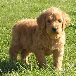 Goldendoodle