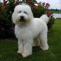 Labradoodle