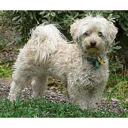 Malti Poo - Maltipoo