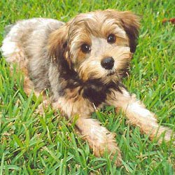 Yorkiepoo - Yorkie Poo