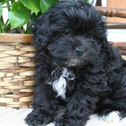 / Puppies For Sale / Shih-Poo - Shihpoo Puppies & Breed Information