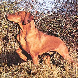Portuguese Pointer