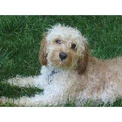 Cavapoo