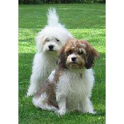 Cavachon
