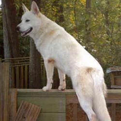 Wolf Hybrid