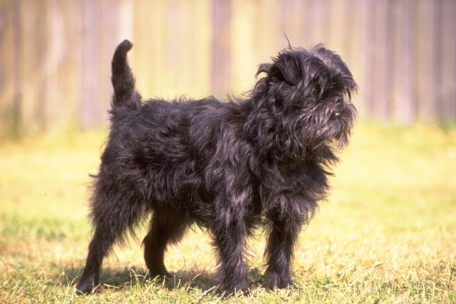 ... Breeds / Puppies For Sale / Affenpinscher Puppies & Breed Information