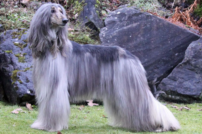 Afghan Hound Dogs For Sale