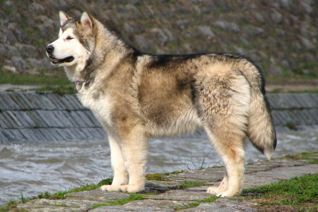 Alaskan Malamute Puppies & Breed Information