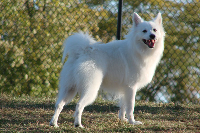 American Eskimo Dog