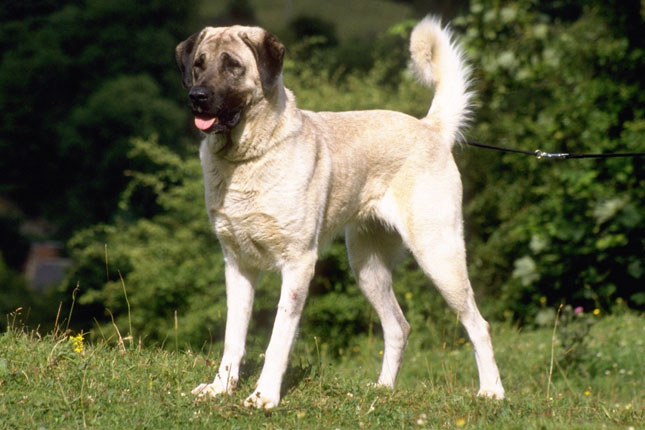 Anatolian Shepherd