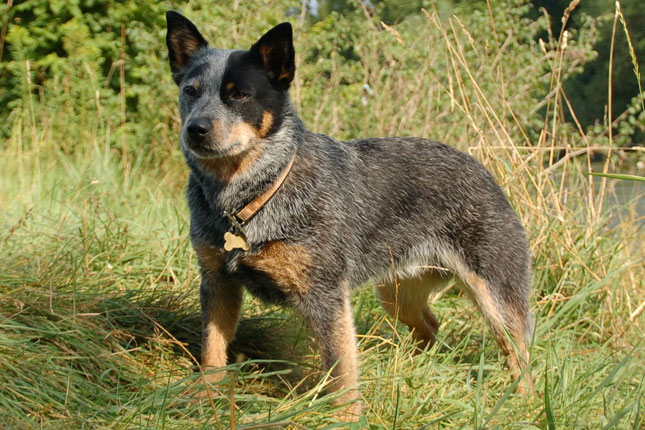 Australian Cattle Dog/Blue