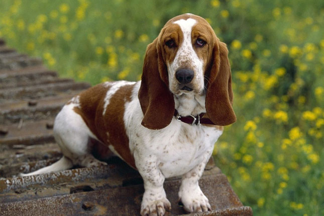 basset hound puppies for sale from reputable dog breeders. Black Bedroom Furniture Sets. Home Design Ideas