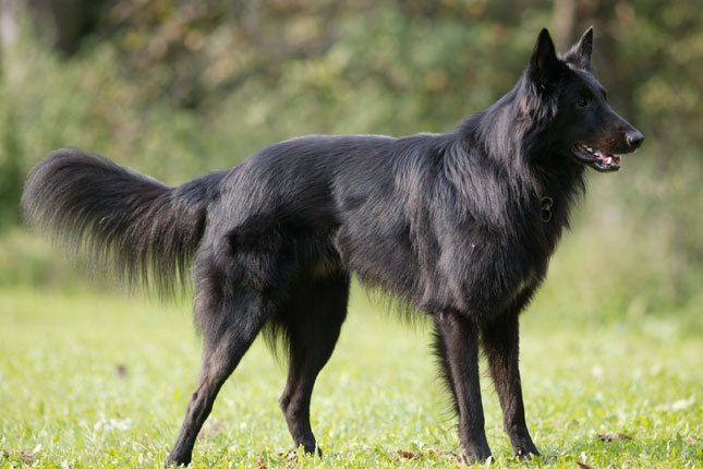 Belgian Sheepdog Puppies for Sale from Reputable Dog Breeders