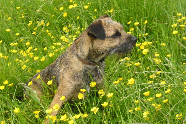 Border Terrier