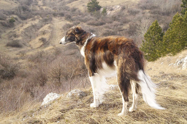Borzoi
