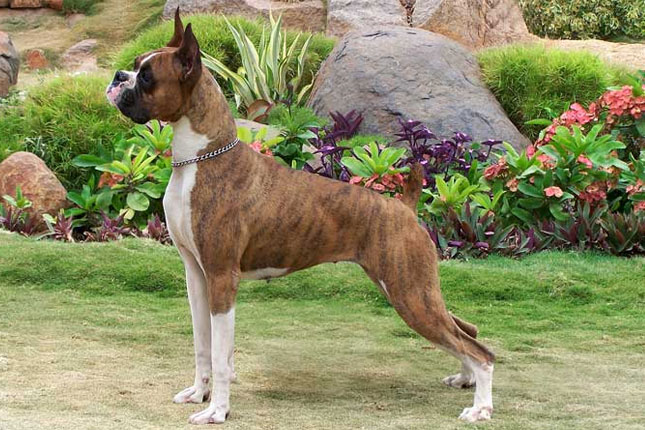 Boxer Puppies For Sale From Reputable Dog Breeders