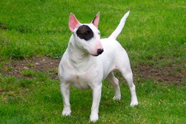 Bull Terrier