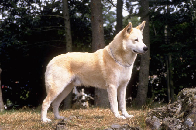 Canaan Dog