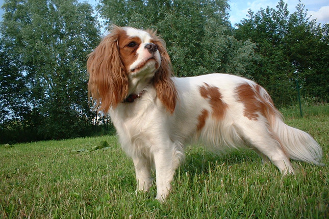 Dog Breeds / Puppies For Sale / Cavalier King Charles Spaniel Puppies ...