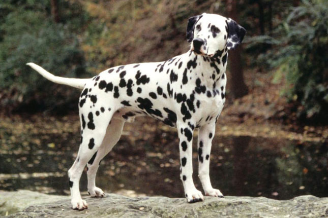 Dalmatian Puppies For Sale - Puppy Breeders