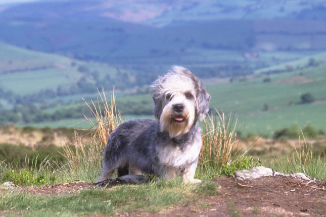 Dandie Dinmont Terrier