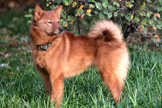 Finnish Spitz Puppies for Sale from Reputable Dog Breeders