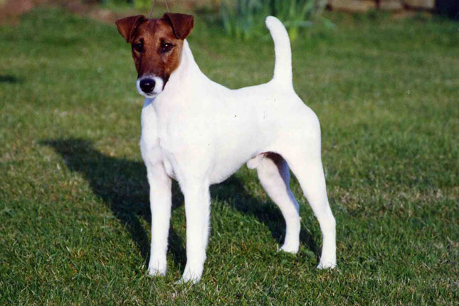 Fox Terrier, Smooth