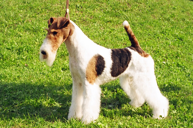 Fox Terrier, Wire