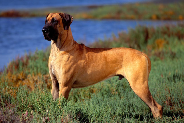 Great Dane breed profile. Get answers to questions about Great Danes.