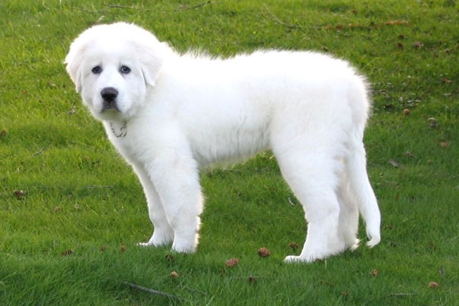 The Pyrenean Mountain Dog, known as the Great Pyrenees in North ...