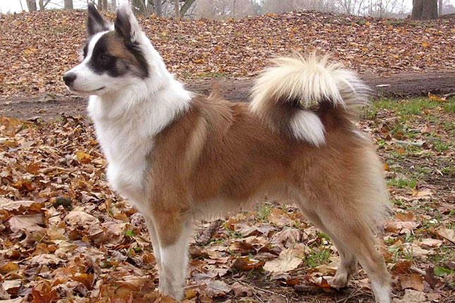 Icelandic Sheepdog