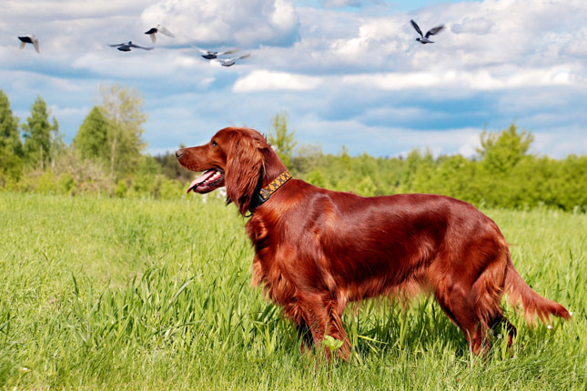 Rescue Dog Red Setter