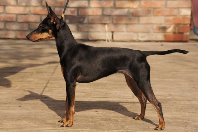 manchester toy terrier - photo #12