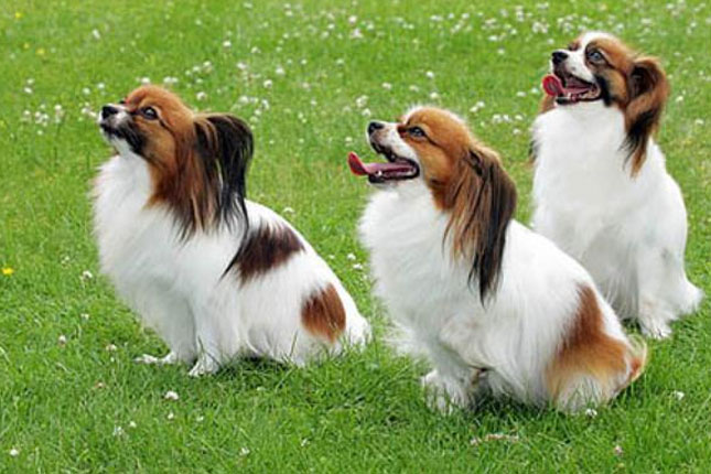 Papillon Puppies for Sale from Reputable Dog Breeders