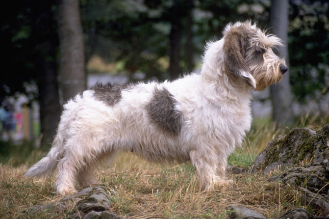 Petit Basset Griffon Vendeen