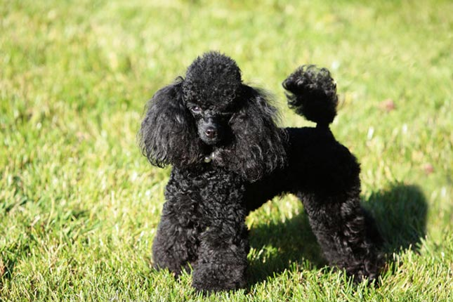 Poodle, Toy