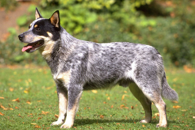Queensland Heeler